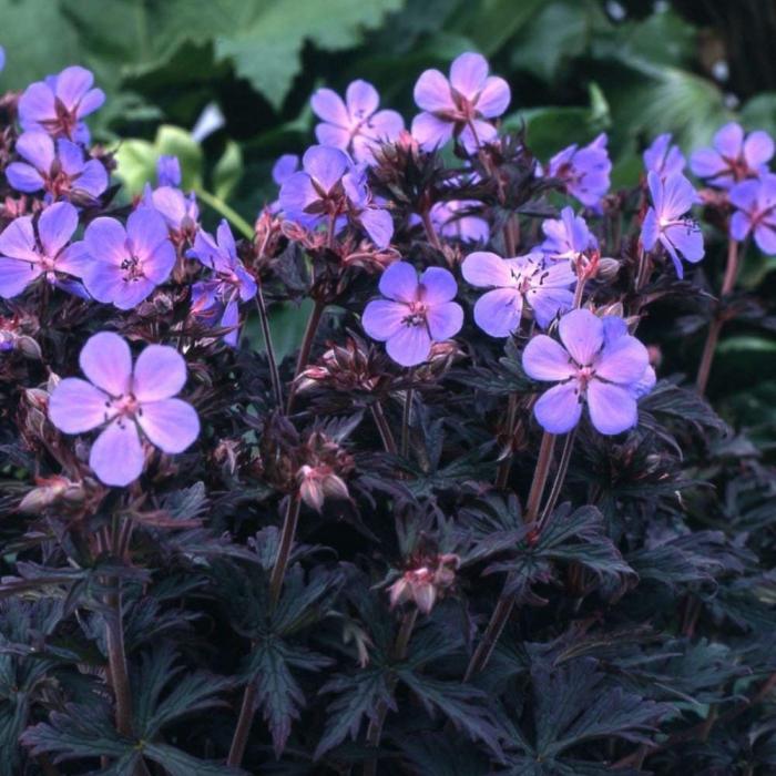 Geranium pratense-Black Beauty 0