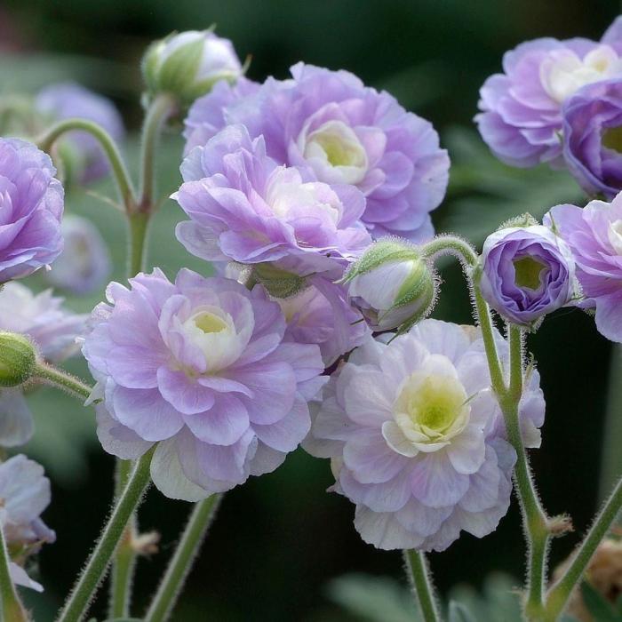 Geranium pratense-Summer Skies [0]