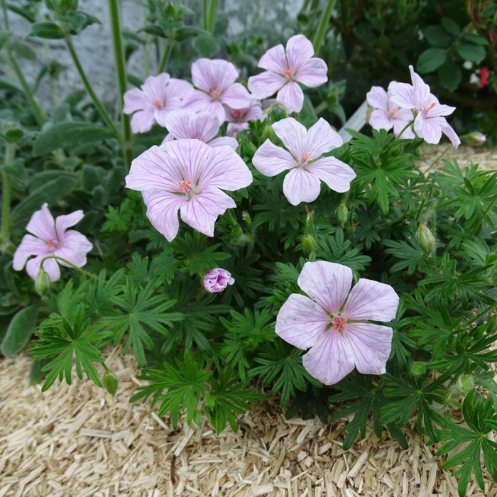 Geranium sanguineum-Pink Pouffe [0]