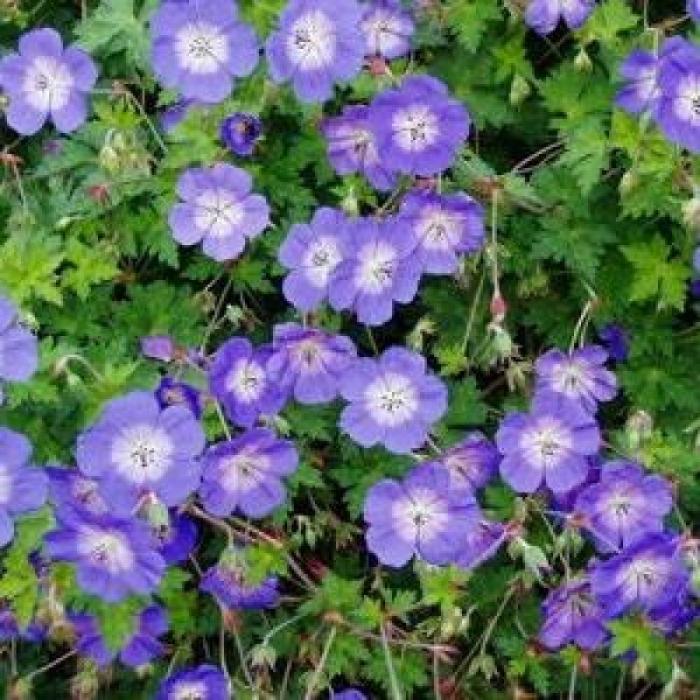 Geranium wallichianum Rozanne 1