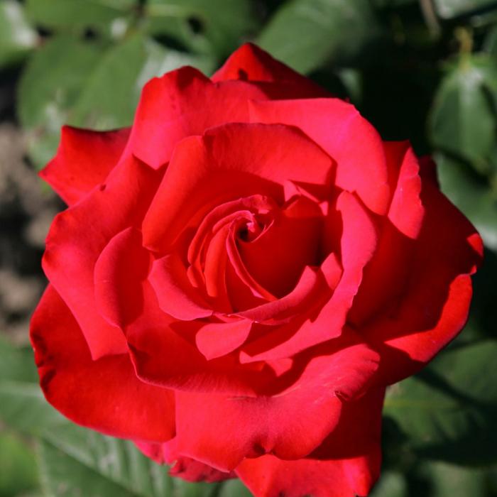 Trandafir Grande Amore® 0