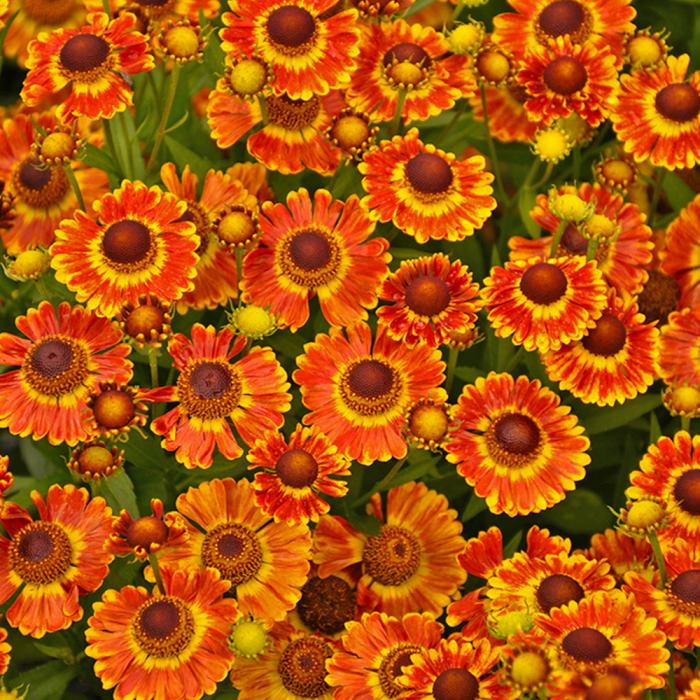 Helenium autumnale-Fuego [0]