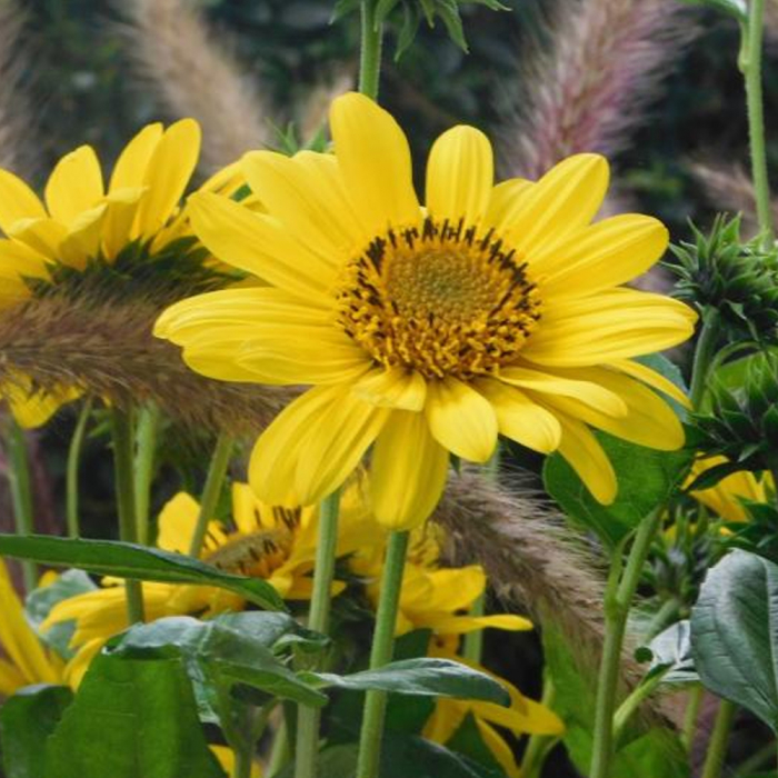 Helianthus hybrida-Suncather Pure Gold 0
