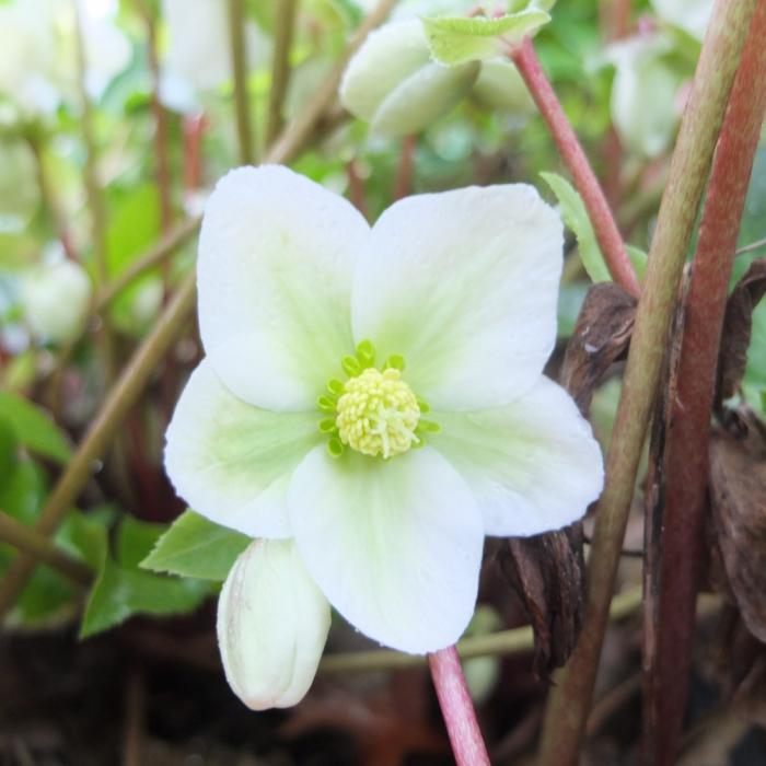 Helleborus hybr.-Pink Beauty [0]