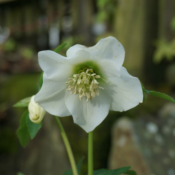 Helleborus hybr.-White Beauty [0]