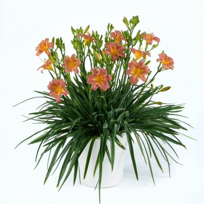 Hemerocallis hybrida- Endlesslily TM Orange [0]