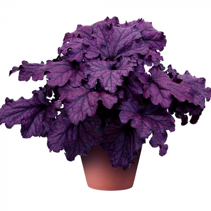 Heuchera hybrida-Forever Purple 0