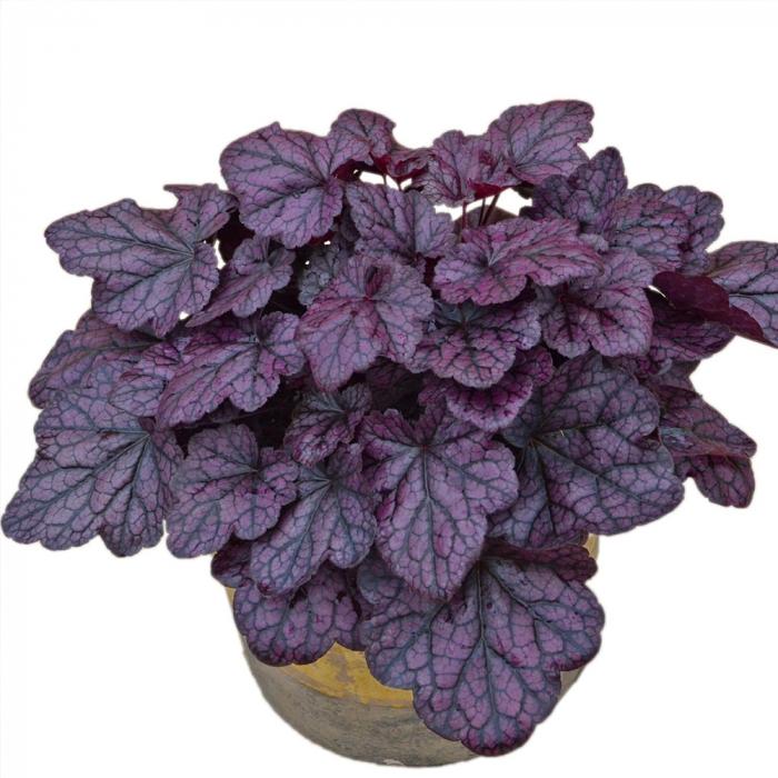 Heuchera hybrida-Grape Expectation [0]