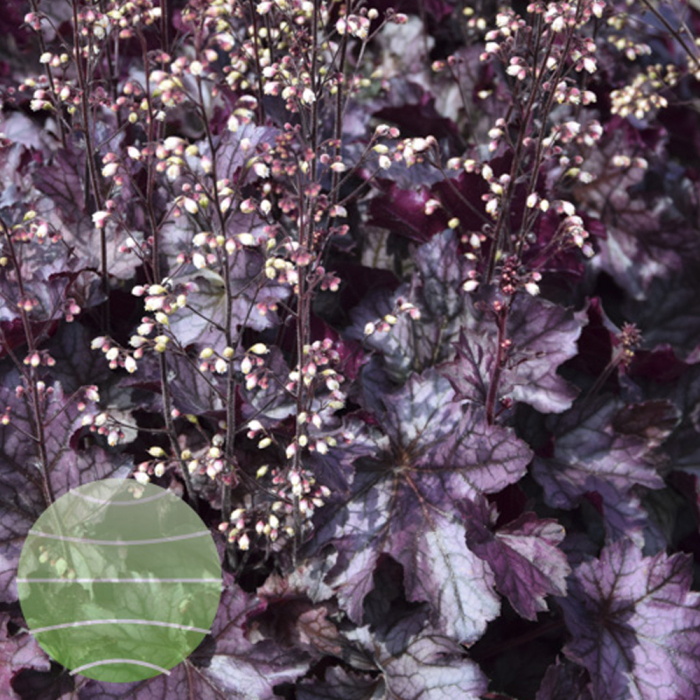 Heuchera hybrida-Rex Purple 0