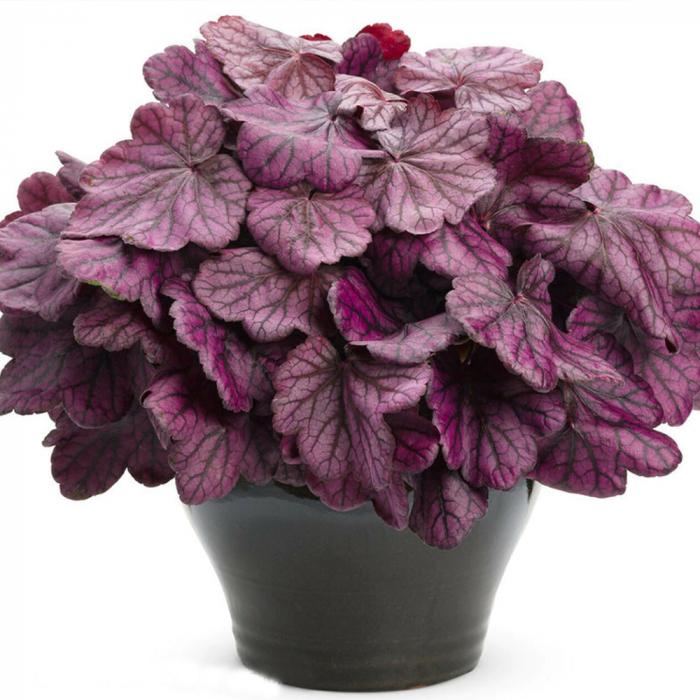 Heuchera hybrida-Wild Rose 0