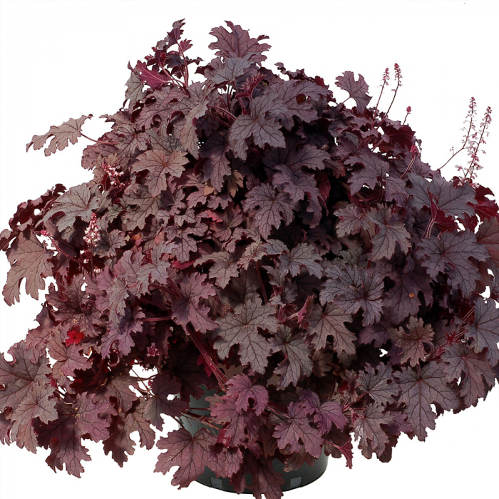 Heucherella -Plum Cascade [0]