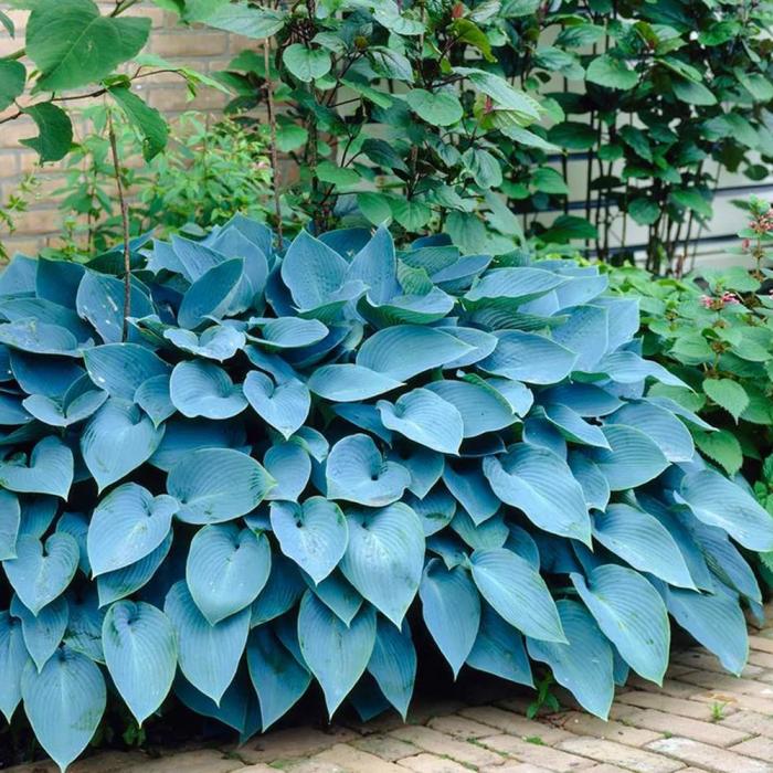 Hosta-Fragrant Blue [0]