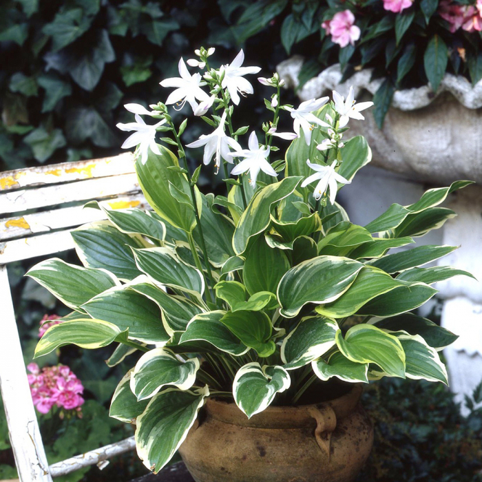 Hosta-So Sweet 0