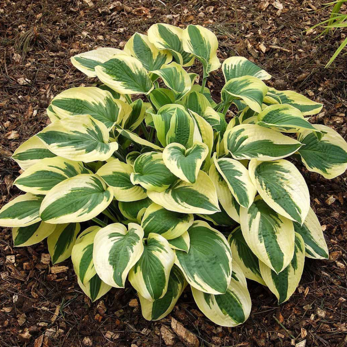 Hosta-Wide Brim 0