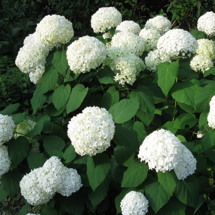 Hydrangea arborescens -Strong Annabelle® 0