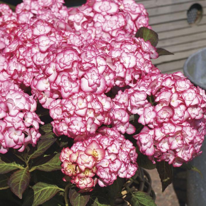 Hydrangea macrophylla-Miss Saori® 0