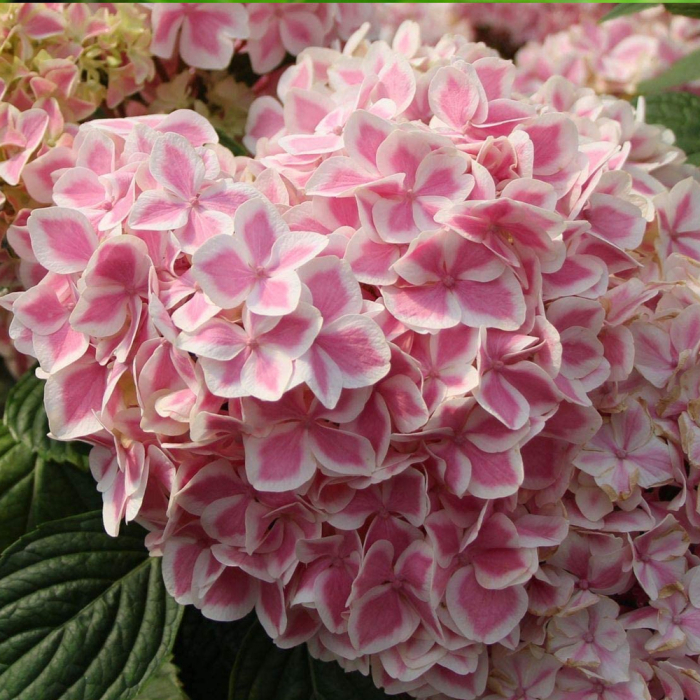 Hydrangea macrophylla-Peppermint® [0]