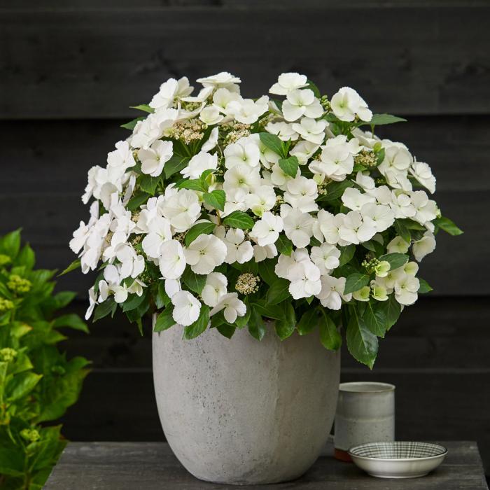 Hydrangea macrophylla-Runaway Bride® [0]