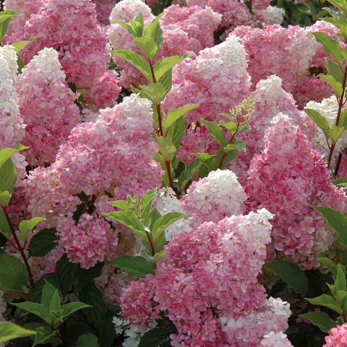 Hydrangea paniculata Vanille-Fraise 1
