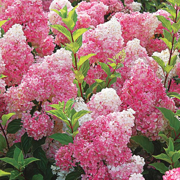 Hydrangea paniculata -Strawberry Blossom® [0]