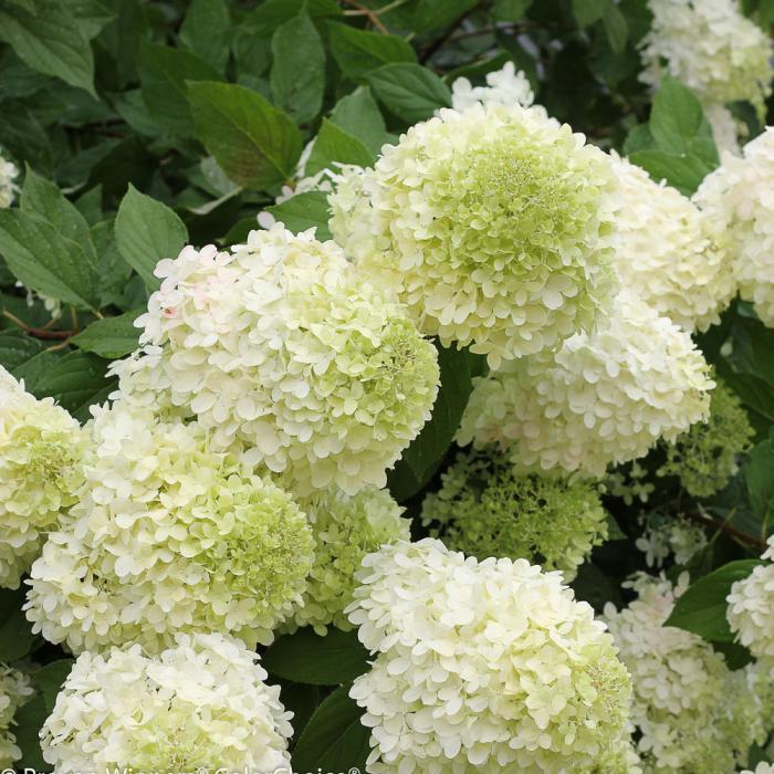Hydrangea paniculata Summer Love ® [0]