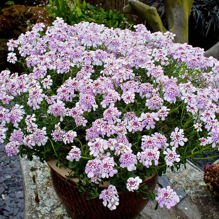 Iberis sempervirens-Pink Ice 0