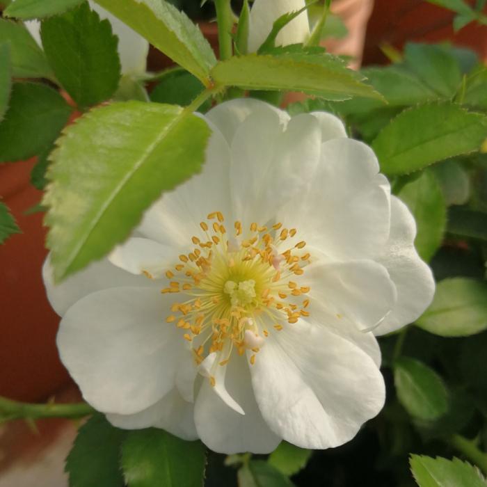 Trandafir Inocentia® [0]