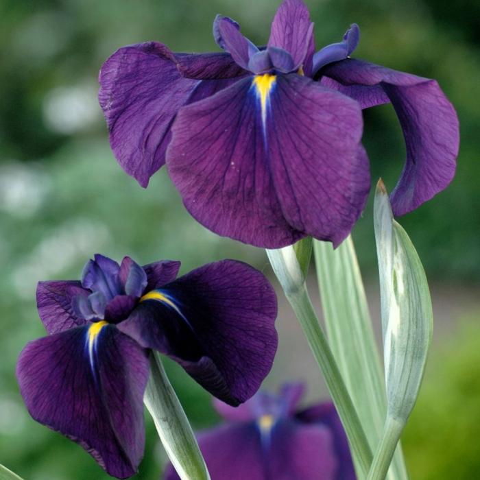 Iris ensata-Variegata [0]