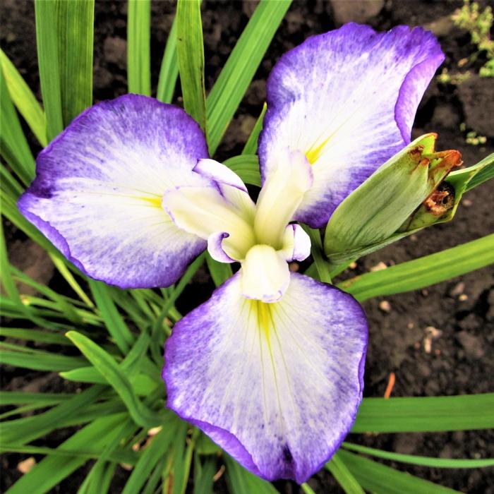 Iris ensata violet white shades 0