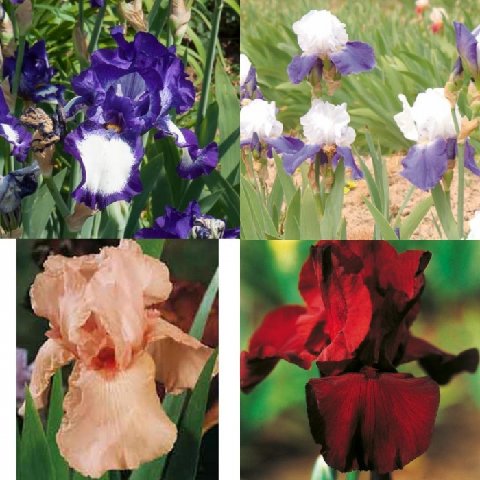 Iris germanica 0