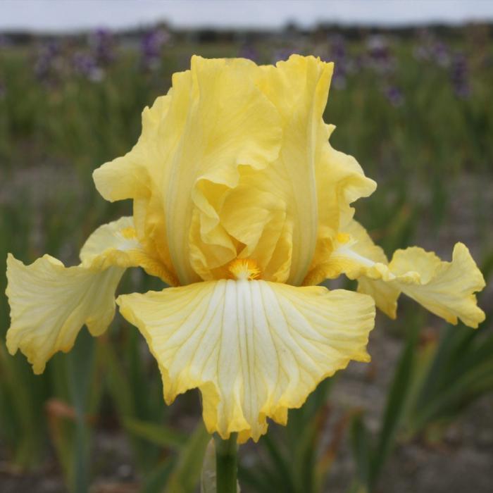 Iris germanica-Big Dipper [0]