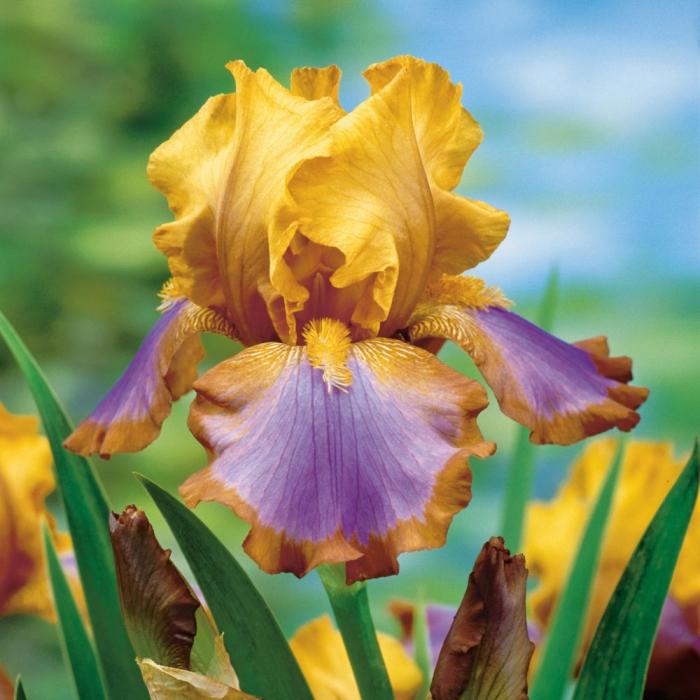 Iris germanica-Brown Lasso [0]