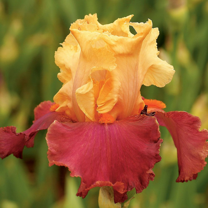 Iris germanica-China Dragon 0