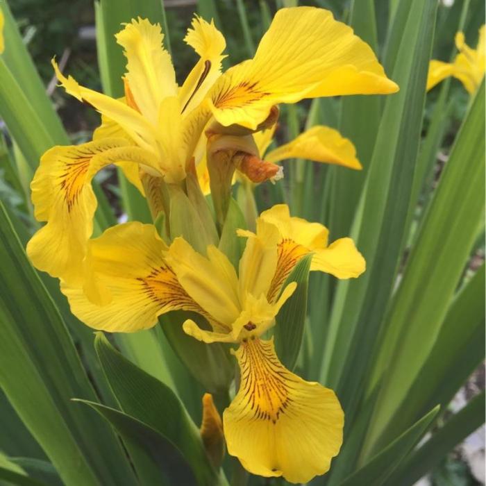 Iris pseudacorus 1