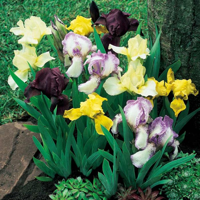Iris pumila-Mix [0]