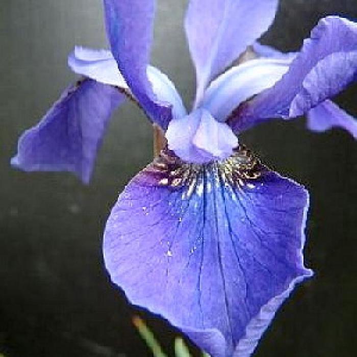 Iris sibirica 1