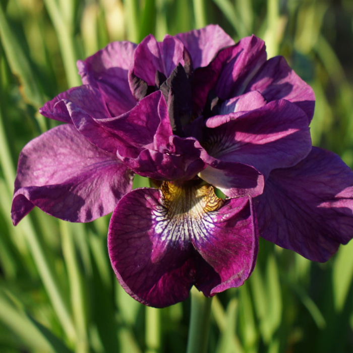 Iris sibirica-Tuble Buck 0