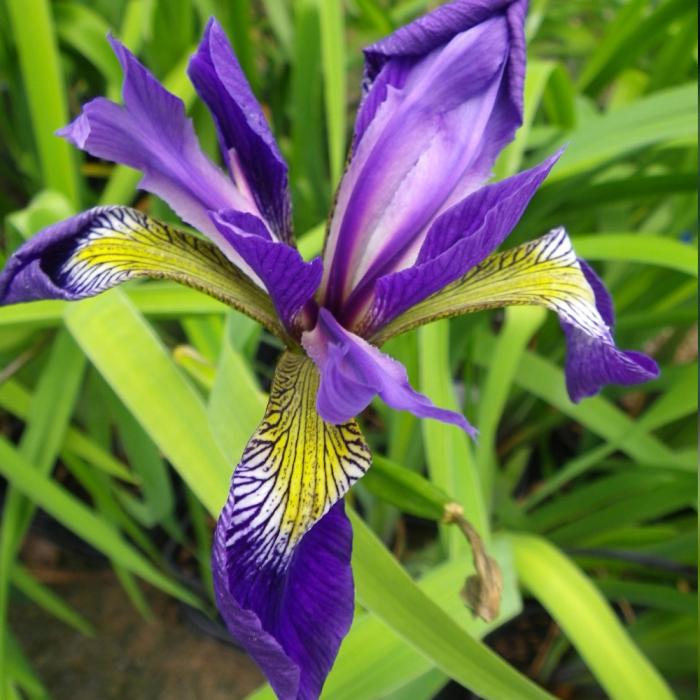 Iris versicolor-Gerald Darby 0