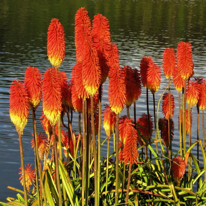Kniphofia uvaria Redhot Popsicle 0