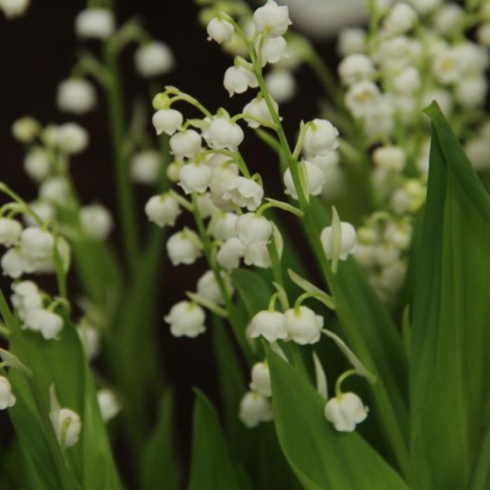 Lacramioara (Convallaria majalis) 1