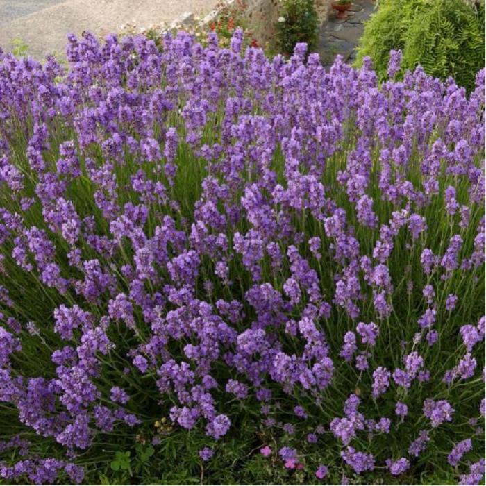 Lavandula angustifolia Hidcote Blue 1