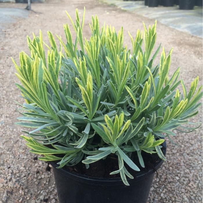 Lavandula angustifolia 1