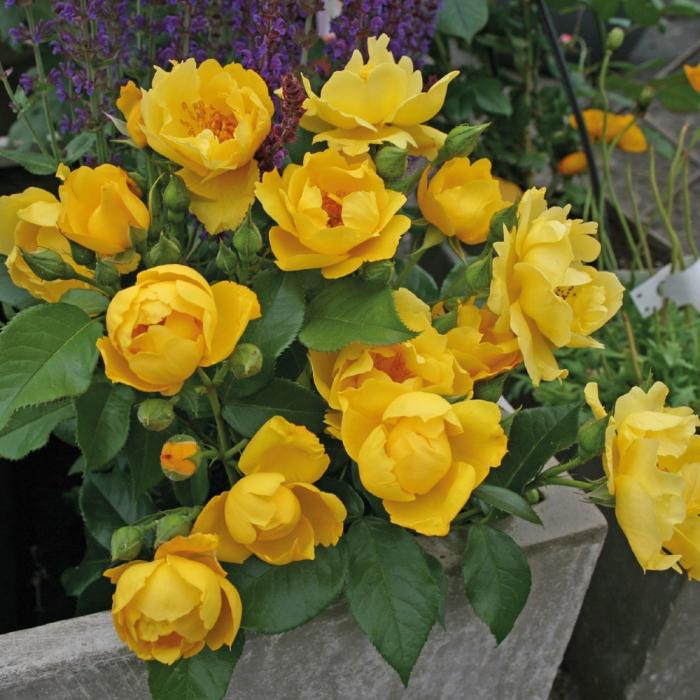Trandafir Lemon Fizz® [0]