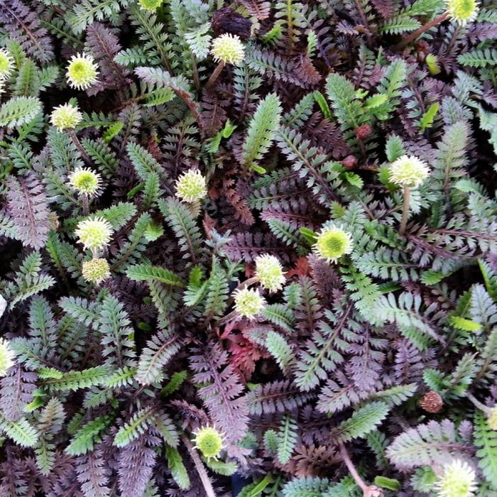 Leptinella squalida-Platt's Black 0