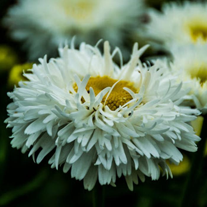 Leucanthemum x superbum-Snow Cap [0]