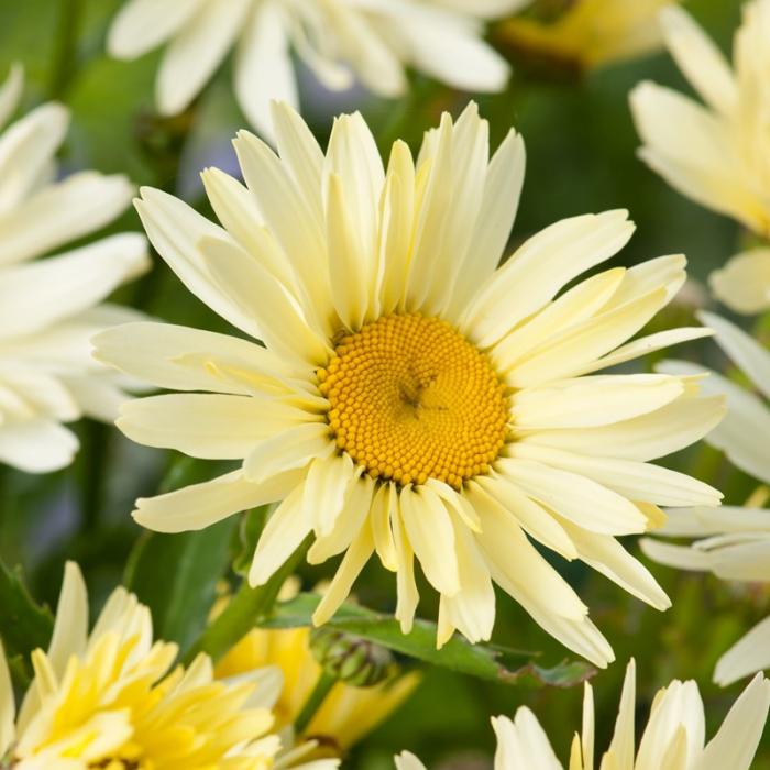 Margareta Banana Cream (Leucanthemum x superbum) 0