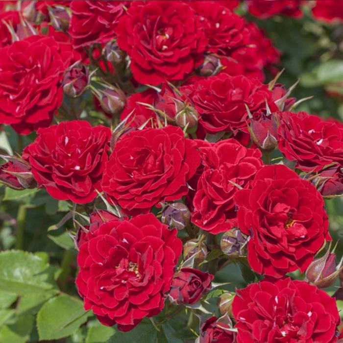 Trandafir Meilland Prince Meillandina 0