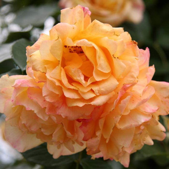 Trandafir Michka [0]