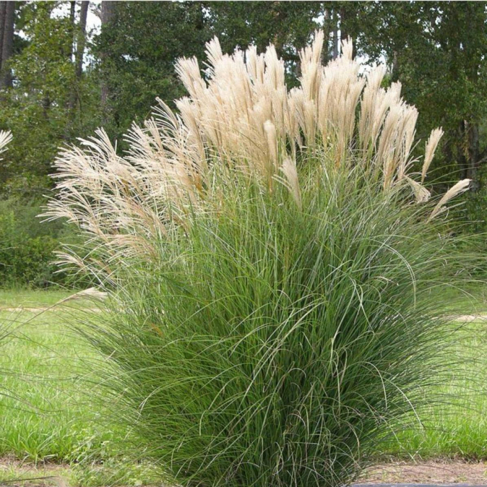Miscanthus sinensis-Select [0]
