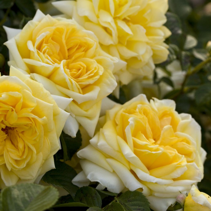 Trandafir Nadia Meidiland® 0